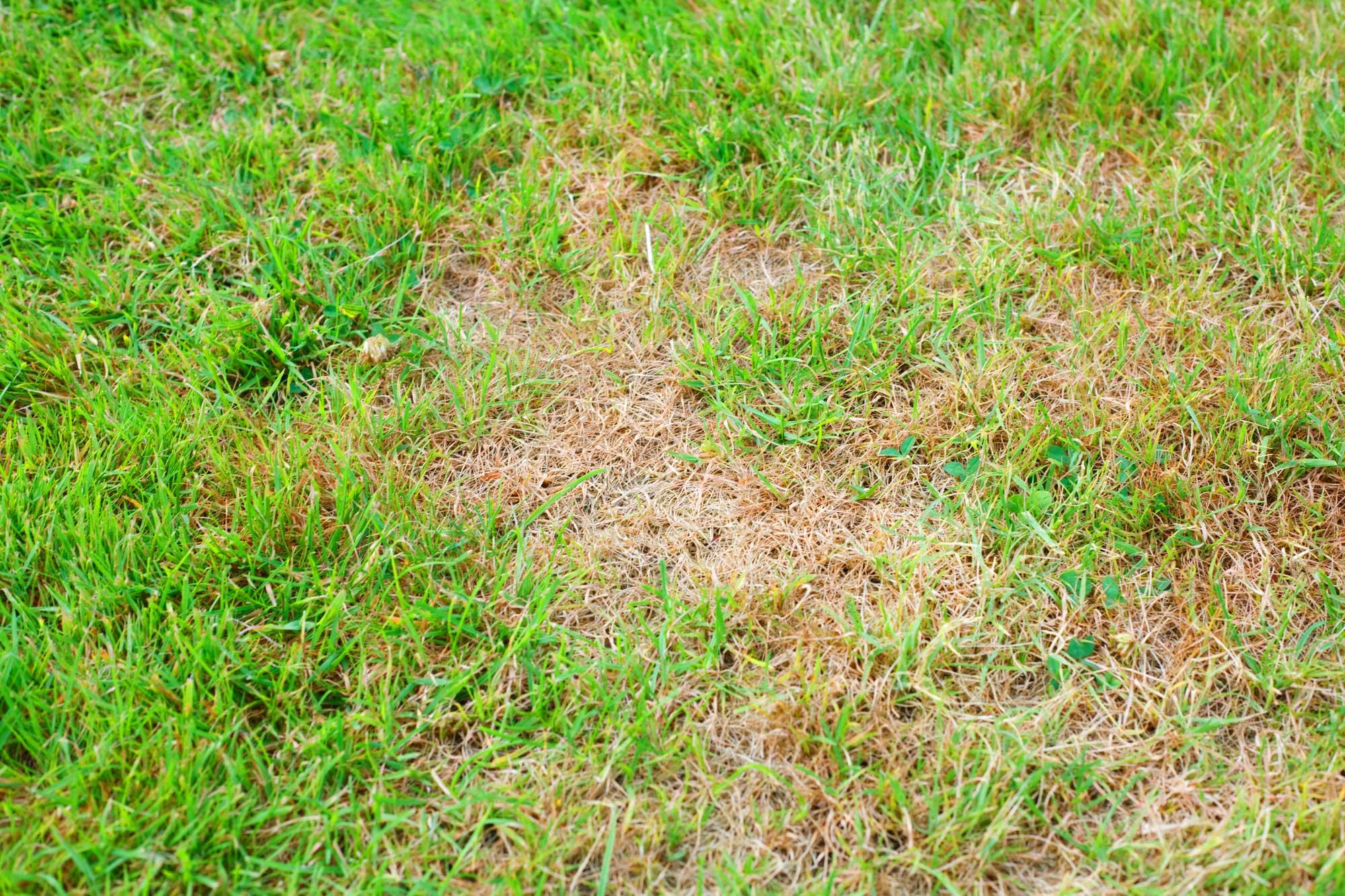 browns-spots-on-grass